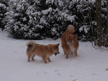 Islandhunde_Januar2014_2