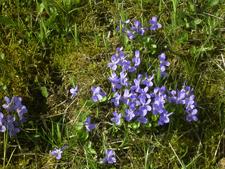 Veilchen April 2009 klein